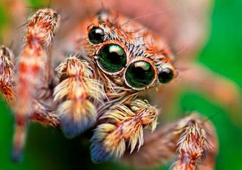 Tarantula Eyes Eyes of Deadly Tarantula